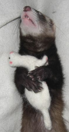 Ferret with Fiber Ferret, how cute!! i need to get my ferret ( Agnes) one!!