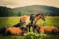 Розведення коней гуцульської породи http://www.hutsulpony.com/poloninske-gospodarstvo Hodowla koni rasy huculskiej http://www.hutsulpony.com/pl-polonyns-ke-gospodarstvo