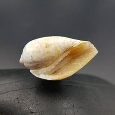 Enhance your magical reality with this Spiralite seashell. This ancient fossilized seashell has naturally formed druzy quartz crystal inside that radiates sparkles of light. Spiralite is a crystallized 50-100 million year old gastropod seashell that was found on a hillside in the Dhar region of Madhya Pradesh state of central India. This area used to be submerged under the prehistoric sea called Tethys. This seashell has a counter clockwise spiral on the apex that is highly coveted in Hindu…