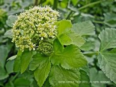 Alexanders (Horse Parsley, Smyrnium) safe as part of a food plot for tortoise inclosure.
