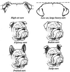English Bulldog Health Information and Temperament English Bulldog Funny, English Bulldog Puppies, French Bulldog, Mini English Bulldogs, Bulldog Drawing, Bulldog Tattoo, How To Draw Ears, Puppy Care, Dog Care Tips