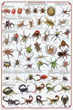 Arachnida Spider Educational Science Chart Poster Poster at AllPosters.com