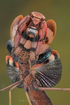 rhamphotheca (mantis): buggirl: beyond incredible.