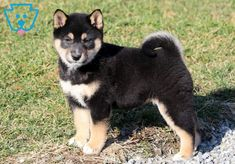 dog breeds dog funny dog photography dog in weddings dog stuff dog cutest dog and puppies dog diy dog drawing dog quotes Teacup Puppies For Sale, Cute Dogs And Puppies, Doggies, Dog Quotes, Dog Photography, Shiba Inu, Cute Baby Animals, Dog Pictures, Funny Dogs