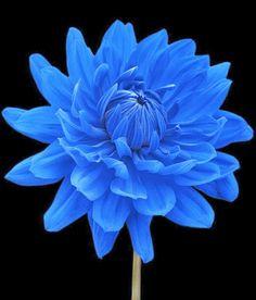 Blue Dahlia Flower Black Background