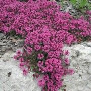 Thymus (Coccineus Group) 'Purple Beauty' Thyme 'Atropurpureus' serpyllum 'Atropurpureus' serpyllum praecox Care Plant Varieties & Pruning Advice