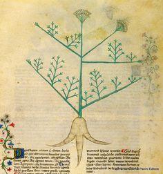 """""""Il peucedano è un'erba simile al finocchio selvatico. Gode di virtù diuretica, e il fomento fatto con il vino del suo decotto provoca le mestruazioni."""" http://www.foliamagazine.it/wp-content/uploads/2014/03/Peucedano.jpg"""