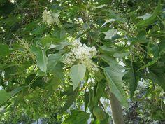 Candlenut tree Hawaii