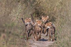 Cheetah cubs playing at Chitabe camp in Botswana
