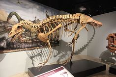 "Deltadromeus (meaning ""delta runner"") is a genus of large basal ceratosaurian theropod dinosaur from Northern Africa. It had long, unusually slender hind limbs for its size. A fairly complete holotype skeleton of Deltadromeus agilis (museum catalogue number SGM-Din2) measured an estimated 8 m (26.24 ft) long."