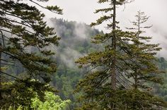 Evergreens In The Mist by Phyllis Taylor