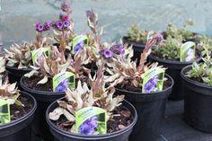 Brave pulmonarias flowering despite the cold