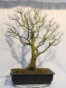 1000 images about pflanzenrarit ten on pinterest bonsai. Black Bedroom Furniture Sets. Home Design Ideas