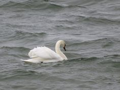 Veeblogi fb.me/veeblogi Swan, Gifs, Facebook, Animals, Pictures, Swans, Animales, Animaux, Animal