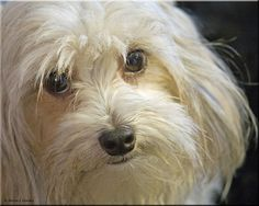 chinese crested powder puff -
