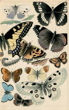 Herrmann, Paul. Der Raupen- und Schmetterlingsjäger. Enth. die hauptsächlich in Deutschland vorkomm. Raupen u. Schmetterlinge, 1858. Leipzig
