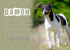 Today's featured Jack Rat Terrier rescue for adoption, foster or sponsorship - Damon!