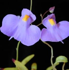 Tropical epiphytic Utricularia are found growing in moss, bark, or decaying leaves on cliffs, hillsides, trees, and fog forests in the Caribbean, Central and South America. Many have underground tubers and may have a period of dormancy each year