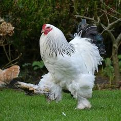 "Frequency Needed To Clean The Coop While chickens may be ""simple"" animals, they still like to feel comfortable and part of that comfort involves Types Of Chickens, Fancy Chickens, Chickens And Roosters, Beautiful Chickens, Beautiful Birds, Animals Beautiful, Farm Animals, Animals And Pets, Cute Animals"