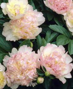 My favorite flowers! Peony Raspberry Sundae - Herbaceous Peonies - Van Engelen Inc. Peonies And Hydrangeas, Peonies Garden, Tulips, Elegant Flowers, Pink Flowers, Beautiful Flowers, Growing Peonies, Spring Bulbs, Pink Petals