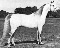 MON TA BASKO  (*Bask++ x *Bint Ambara, by Comet) 1967 grey stallion bred by Lasma; sired 236 registered purebreds