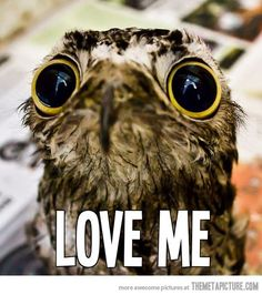 Animal pictures are usually popular online because the animals are cute and adorable or ferocious and fearsome. The Potoo bird, however, is neither majestic nor Funny Animal Quotes, Funny Animals, Cute Animals, Amor Animal, Mundo Animal, Baby Owls, Baby Animals, Funny Cute, The Funny