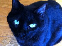 "Leah Serena from Mary. ""...this sweet kitty crossed The Rainbow Bridge on September 23. This will be the first Halloween in 14 years without our ""Witch Cat."" She is missed dearly.""   =^..^=  October 2014 October Cat Faeries celebrates black cats. We are posting photos of our customer's black beloveds on Pinterest, Facebook, and our newsletter.  And we'll donate 1% of our October sales to black cat rescue groups.  Read more at www.catfaeries.com/blog/celebrating-black-cats-in-october/"