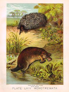 "Johnson's Animal Kingdom - ""PORCUPINE"" - Chromo - 1880"