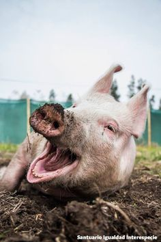 Laura fue rescatada de un criadero de cerdos en donde la utilizarían como una máquina reproductora y la obligarían a vivir durante tres años en una jaula tan pequeña que ni siquiera podría darse la vuelta.  Hoy a tres meses y medio de su rescate Laura ya ni siquiera recuerda su pasado y cada día disfruta de su vida de paz y libertad en el Santuario Igualdad Interespecie   Como en esta foto en la que despierta sonriendo después de una tranquila siesta :)