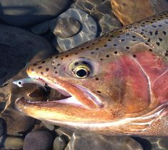 Photos: Great Lakes Steelhead and Old Man Winter | Orvis News