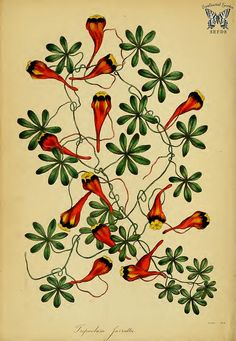 three-coloured Indian cress [Tropaeolum tricolor as Tropaeolum jarrattii] Paxton's Magazine of botany and register of flowering plants vol. 5 (1838)