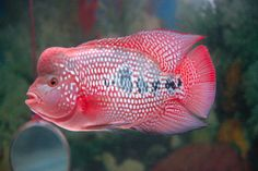 flowerhorn fish pictures | Indonesian Flowerhorn Competition May 08 - WaterWolves - Exotic, Rare ...