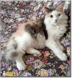 Read Maxi the Maine Coon's story from Jersey City, New Jersey and see her photos at Cat of the Day http://CatoftheDay.com/archive/2013/June/17.html .