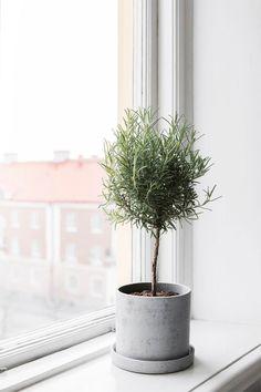 Gardening — Rosemary topiary.