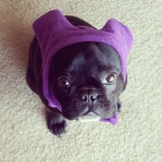 9-mo-old Penelope is ready to brave the #cold in her new BatHat!  #dog #dogs #frenchie #frenchies #frenchbulldog #frenchbulldogs #frogdog #batpig #squishyfacecrew #bulldog #bulldogs #batears #ears #winter #fashion #cute #etsy #snorfindustries