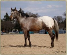 Featured Appaloosa Stallion at Stud: Eye Rock Z. Most of his foals are ApHC, ApHCC, NAERIC - which if you like to show, is a big bonus, everywhere you show at NAERIC approved shows, you can earn extra money. Visit ad page: http://myhorseforsale.com/horses-for-sale/details/?hid=29724