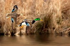This Mallard pair comes in fast on a cold January morning.    Submitted by Bill Houghton