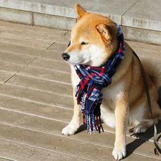 """柴犬, Shiba Inu <3 ~lisa """"extremely cold morning!おはまる〜*(^o^)/* 今日はマルラー忘れないでね! #マルラー在庫あり〼 #柴犬着まわしコーデ """"(c) 20th January"""