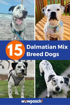 15 #Dalmatian #Mix #Breed #Dogs. List Of #Dalmatian #Mixes #Beaglemation – Beagle Best Dog Breeds, Best Dogs, Dalmatian Mix, Pet Shed, Dog Crossbreeds, Wild Animals Pictures, Dog Varieties, Dog Boarding, Mixed Breed