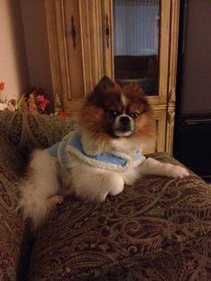 Blue Merle Pomeranian Name: Tyson
