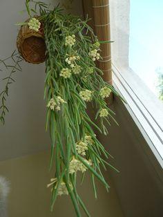 Hoya linearis / himalajanposliinikukka