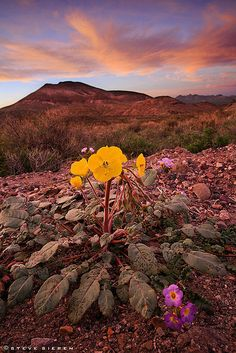 Roadside Beauties by Steve Sieren Photography, via Flickr Death Valley Wildflowers - Nevada's Great Basin Desert late March