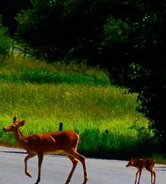 Momma's love: I was in Couer D'alene Idaho when this mother and her fawn tumbled out of the woods in front of me. #brucebeanphotography #wildlife #deerandfawn #idaho #couerd'alene #lakecouerda'Alene #roadtrip #cougarbaypreserve  #canon #canonlife  #FF #instafollow #followback #love #instagood #tbt #photooftheday