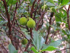Fruto de madroño (arbutus unedo). http://www.elhogarnatural.com/