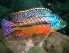 Red Empress Cichlid (FW) African cichlid from lake Malawi. I would like a pair of these for our African Cichlid tank. Aquarium Set, Home Aquarium, Tropical Aquarium, Saltwater Aquarium, Tropical Fish, Malawi Cichlids, African Cichlids, Colorful Animals, Colorful Fish