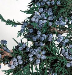 Preserved Natural Fragrant Juniper Branch with Juniper Berries tall. Save on Crafts Manzanita Tree, Juniper Berry, Juniper Tree, Save On Crafts, Diy Wedding Bouquet, How To Preserve Flowers, Christmas Tree Decorations, Christmas Ideas, Cozy Christmas
