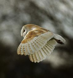 Such a tiny little barn owl. It's so cute, but I have a feeling its prey think differently...