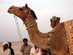 Animal Art At The Bikaner Camel Festival