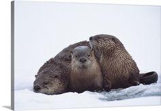 Montana River Otter