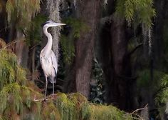 Great Blue Heron  @ Phillip's Natural World